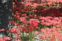 Amaryllis of large tree and full bloom Stock photo [3365030] Amaryllis