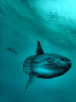 Sunfish Stock photo [3368860] Sunfish