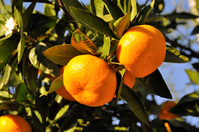 Tree of oranges Stock photo [3456079] Mandarin