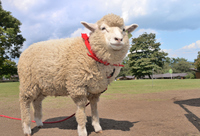 Sheep idle Stock photo [3458531] Animal
