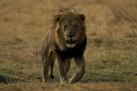 Lion Stock photo [3458570] Natural