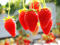 Strawberry picking Stock photo [3460180] Strawberry