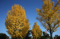 Yellow leaves of a big tree of ginkgo Stock photo [3460189] Ginkgo