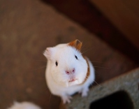 Complained of guinea pig Stock photo [3462305] Guinea