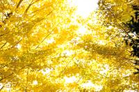 Ginkgo autumn leaves Stock photo [3463520] Ginkgo