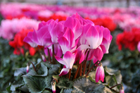 Greenhouse before shipment of cyclamen Stock photo [3553994] Cyclamen