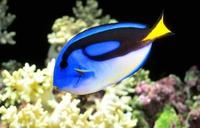 ナンヨウハギ Stock photo [3558031] 魚