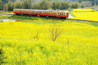 Local train Kominato railway that runs the rape blossoms of carpet Stock photo [3561438] Kominato
