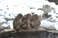 Wild Japanese macaques Stock photo [3562129] Japanese
