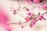 Plum blossom Stock photo [3562572] Plum
