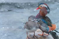 Mandarin duck couple of snow days Stock photo [3562940] Setting
