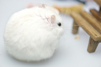 Djungarian hamster pudding Stock photo [3673195] Djungarian