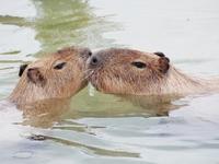 Contact hot capybara-kun pair Stock photo [3675271] Capybara
