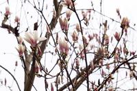 Calico magnolia Stock photo [3677513] Calico