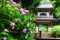 Bell Tower Gate of hydrangea and Jōchi-ji Stock photo [3776898] Hydrangea
