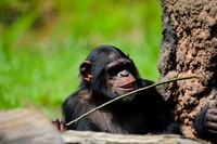 Chimpanzee to extract the honey from the artificial ant mounds Stock photo [3778818] Chimpanzee