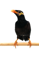 Myna bird Stock photo [3779484] Birds