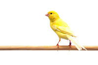 Canary Stock photo [3782053] Birds