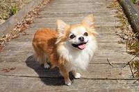 Smile walking the road tree Chihuahua Stock photo [3782699] Chihuahua
