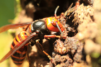 Asian giant hornet Stock photo [3784331] Asian