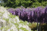 Yae wisteria and contest of Shirafuji Stock photo [3786787] Wisteria