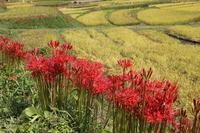 Terasaka terraced rice fields of Amaryllidaceae Stock photo [3890180] Cluster