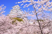 After April Hyogo Heisei major repair Himeji Castle cherry large tower and full bloom stock photo