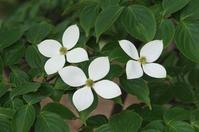 Dogwood flower Stock photo [3890933] Dogwood