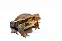 Azuma toad Stock photo [3979063] Toad