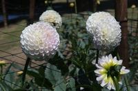 White dahlia flower four-wheel Stock photo [3984858] Dahlia