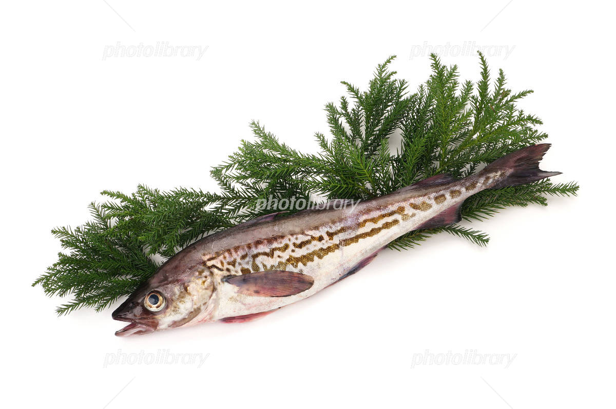 Alaska pollock white back cedar leaf Photo