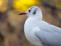 不忍池にいるユリカモメ |  Black-headed gull is in Shinobazunoike (Ueno, Tokyo, Japan) カモメ