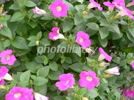 Bindweed Photo