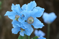 Blue poppy Stock photo [129356] Poppy