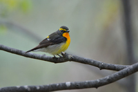 Narcissus Flycatcher Stock photo [4183813] Narcissus