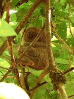 The world's smallest tarsier Tasha Stock photo [4184377] Southeast