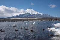 Lake Yamanaka and swan Stock photo [4186539] Landscape