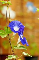 morning glory Stock photo [4187220] Higo