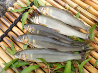 Fishing fresh natural Ayu Stock photo [4189254] Ayu