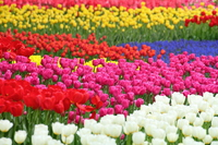 Full bloom of tulip fields Stock photo [4192472] Tulip