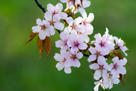Cherry tree in full bloom Stock photo [4239955] Cherry