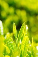 Tea leaves Stock photo [4281362] tea