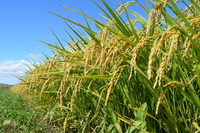 Rice before harvest Stock photo [4290982] Ear