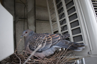 Nest of pigeon Stock photo [4368221] pigeon