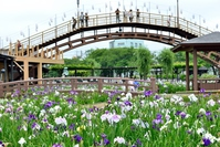 Suigo Ayame Itako Gardens Stock photo [4371676] Suigo