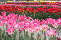 North Island tulip park Stock photo [4379300] Kitajima-cho