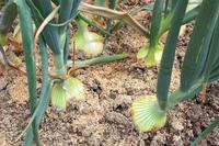 Onion field Stock photo [4445953] onion