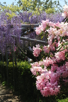 Contest of rhododendron and wisteria Stock photo [4450033] Rhododendron