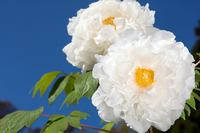 Up of white peony flowers Stock photo [4457192] button