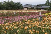 Donden Yuri Taira garden Stock photo [4532364] lily